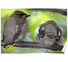 Tiny Wax Wings / Cedar Waxwing Fledglings Poster