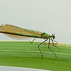 Female Banded Demoiselle by Robert Abraham