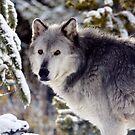 The Grey Wolf by Ann  Van Breemen
