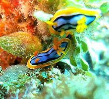 Nudibranchs by SHappe