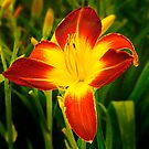 Tatton Park Lily by Kelvin Hughes