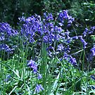 Bluebell woods by whackycat