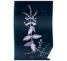 A curious herbal Elisabeth Blackwell John Norse Samuel Harding 1739 0106 Horse Mint Inverted Poster