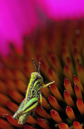 Rugged Landscape -- Grasshopper on Coneflower by T.J. Martin