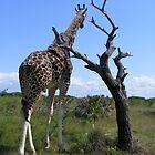 Giraffe in Mombassa by MrEyedea