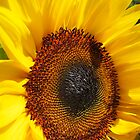 Sunflower (Helianthus annuus) close up by buttonpresser