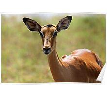 Female Impala Poster