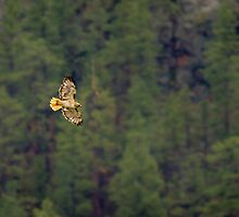 Red Tailed Hawk by Chris Heising