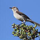 State bird of florida(mocking bird) by jozi1