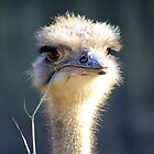 Ostrich by sherele