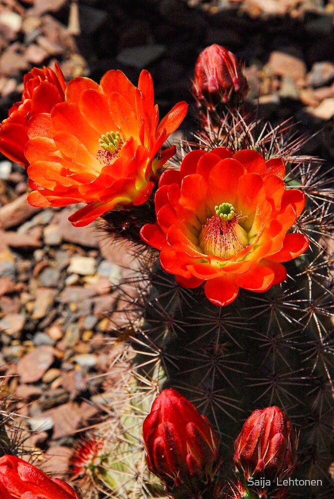 Orange Hedge Hog Cactus  by Saija  Lehtonen