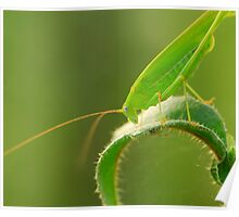 Specked Bush-Cricket  Poster