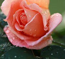 Tuesday Rose. by Baska
