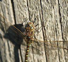 Beautiful Dragonfly by Starsania