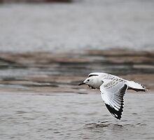 Silver Gull by EnviroKey