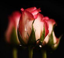 Pink Roses by Samantha  Nicol