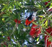 Scarlet Honeyeater by EnviroKey