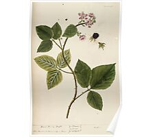 A curious herbal Elisabeth Blackwell John Norse Samuel Harding 1737 0124 Blackberry Black Berry Bush Poster