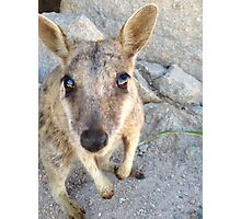 Australian Rock Wallaby Photographic Print