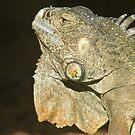 Iguana by Roxanne du Preez