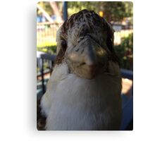Australian Kookaburra - I like birds! Canvas Print