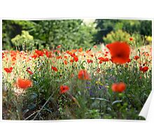 Tuscany Poppies Poster