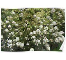 Leek in flower - macro Poster