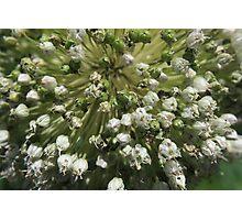 Leek in flower - macro Photographic Print