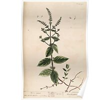 A curious herbal Elisabeth Blackwell John Norse Samuel Harding 1739 0106 Horse Mint Poster