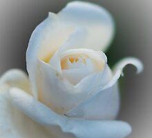 White Rose by Raymond Kundra