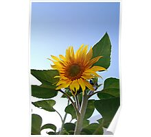 Looking up!.....(Sunflower) Poster