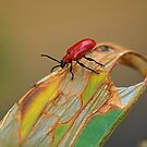 Cardinal Beetle,  Pyrochroa  serraticornis. by relayer51