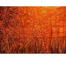 Fields of Golden Grain Photographic Print