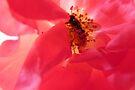 Sunlit rose by Photos - Pauline Wherrell