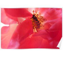 Sunlit rose Poster