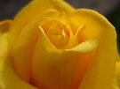 roses are yellow by millymuso