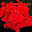Red geraniums against black by ♥⊱ B. Randi Bailey
