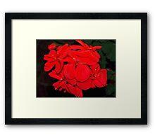 Red geraniums against black Framed Print