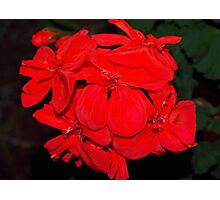 Red geraniums against black Photographic Print