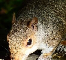 Squirrel eating his seed and nuts by DEB VINCENT
