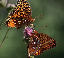 Butterfly Duo by by M LaCroix