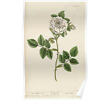 A curious herbal Elisabeth Blackwell John Norse Samuel Harding 1737 0190 The White Rose Poster