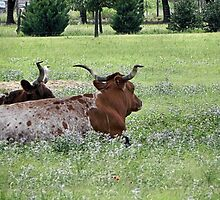 longhorn cattle lounging under tree near fort worth texas by eviejune1e
