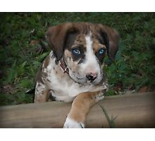 Catahoula Leopard Dog Pup Photographic Print
