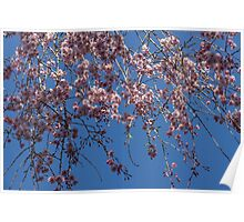 Pretty in Pink - a Flowering Cherry Tree and Blue Spring Sky Poster