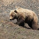 Grizzly by Mindy47