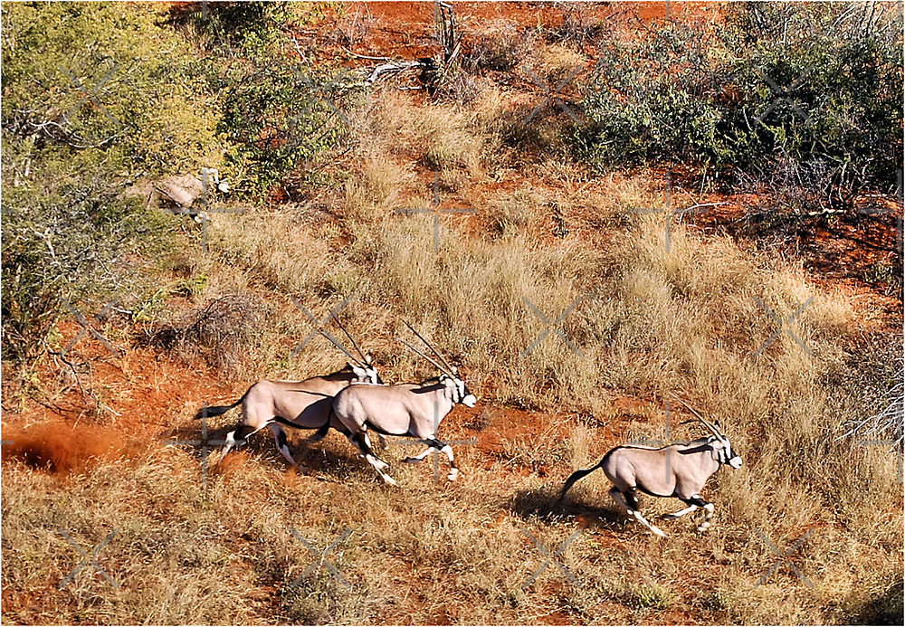 AN AERIAL CAPTURE IN RE-LOCATING GEMSBUCK by Magriet Meintjes