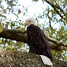 Proud American Eagle by Missy Yoder