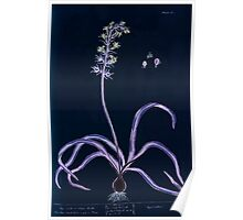 A curious herbal Elisabeth Blackwell John Norse Samuel Harding 1737 0164 Hyacinth or Hare Bells Inverted Poster
