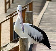 Pelican, Monkey Mia, Western Australia by ladieslounge
